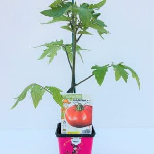 Tomate pot de 9X9
