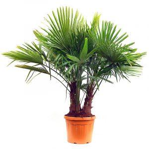 Trachycarpus Fortunei 2m
