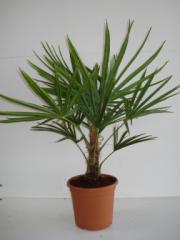 Trachycarpus Fortunei C25l