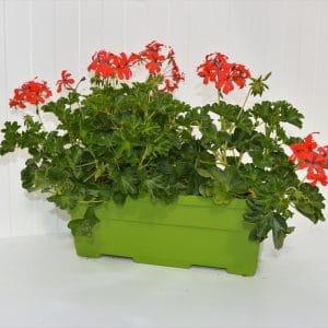 Géranium lierre simple jardinière