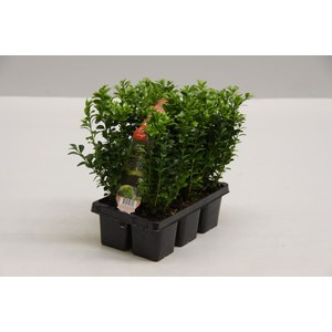 Buxus Sempervirens le lot de 6