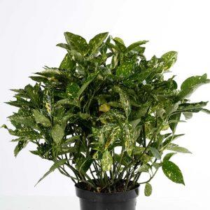 Aucuba Japoncia Crotonifolia 17 cm