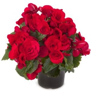 Begonia Baladin Rouge